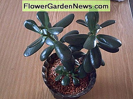 Jade plant is safe for children and pets