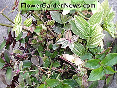 Tradescantia comes in many varieties, and is an excellent vining plant.