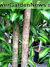 Mass Cane (Draceana fragrans Massaengea) grows on characteristic thick brown woody canes.