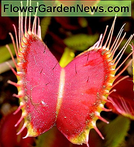 Venus Fly Trap showing trigger hairs