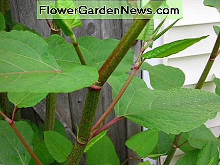 Fast growing stems of the Japanese Knotweed