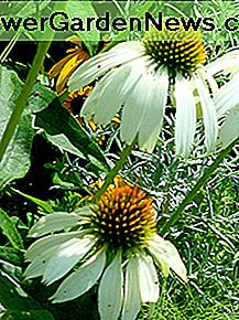 White coneflowers are native plants