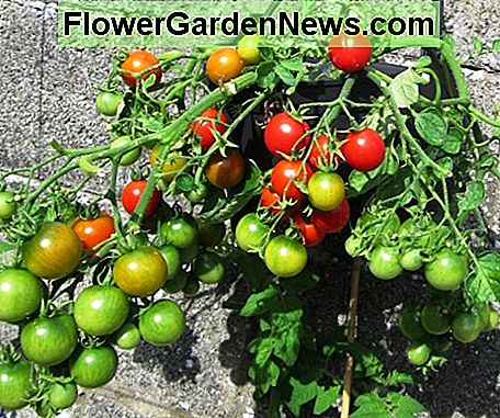 Tomatoes in a Container