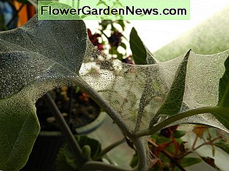 Moonflower covered in spider mite webbing.