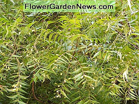 Neem Oil Organic Insecticide