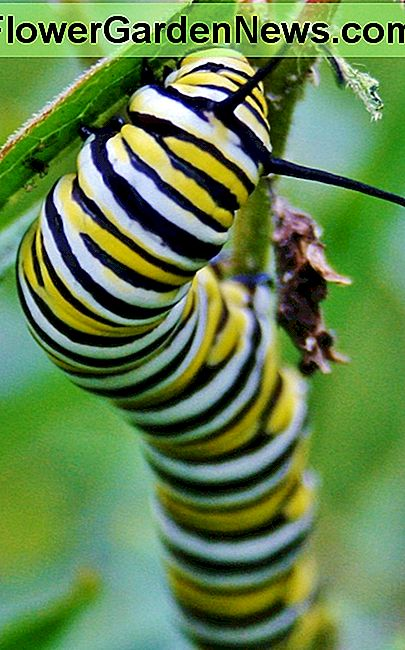 A Monarch caterpillar munches on Orange Butterfly Weed, a type of domesticated milkweed.