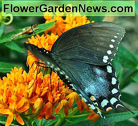 An Eastern Black Swallowtail sips nectar from orange butterfly weed.