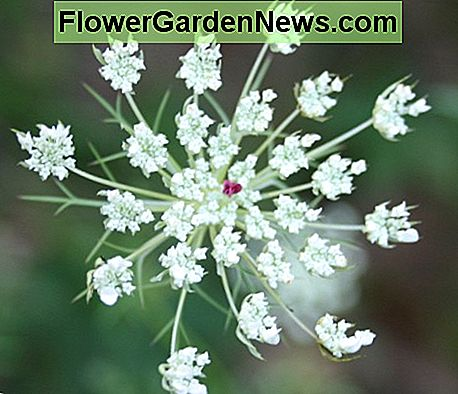 Closeup of a Queen Anne's Lace flowerhead.
