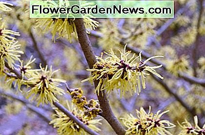 Lighter colored witch hazel flowers blooming in the very early spring, when it is still so cold.