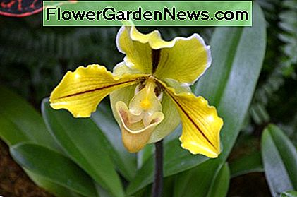 Yellow Orchid flower.