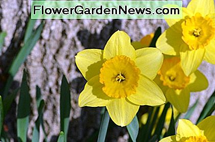 Growing Yellow Daffodils from bulbs is so easy and so rewarding year after year.