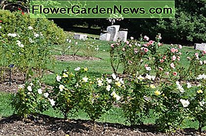 Multiple different roses in a rose garden. You can see some yellow rose bushes in the foreground here.
