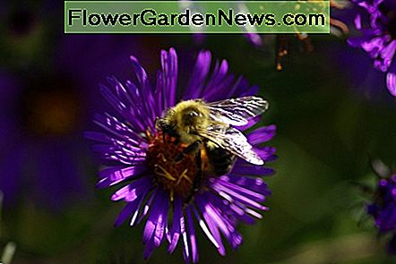 thanks to asters bees can feed themselves well into the fall.