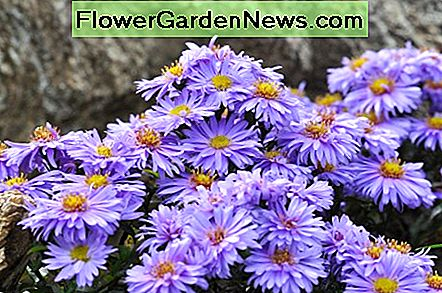 Asters enjoy nestling among rocks and make great rock garden additions