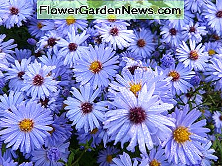 'King George' found in the sub group A. Amellus are light blue asters, blue is a rare color in flowers.