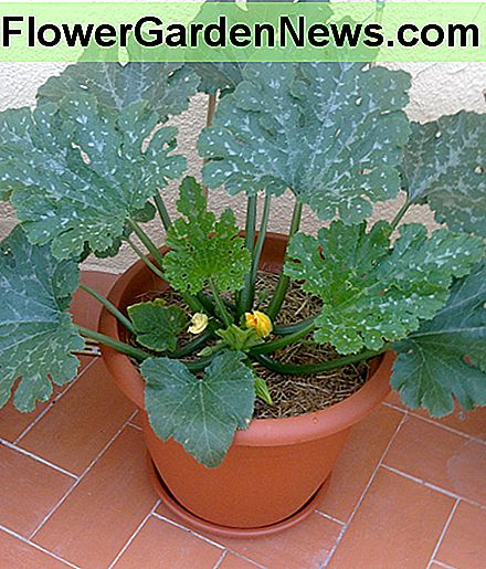 Organic Container Gardening: Growing Zucchini (Courgettes) in Pots