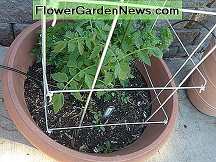 Collapsible tomato pens or folding cages are ideal support for tomatoes if they are well made. Folding cages make for easy winter storage.