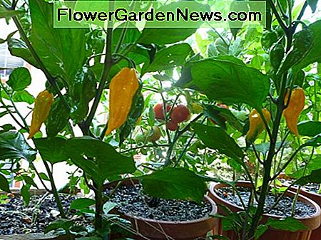 Even when grown in containers, the Fatalii pepper plants were heavy producers.