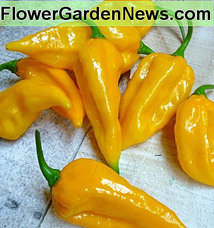 Grow Fatalii Peppers