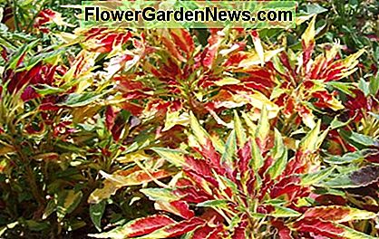 Decoration - Coleus