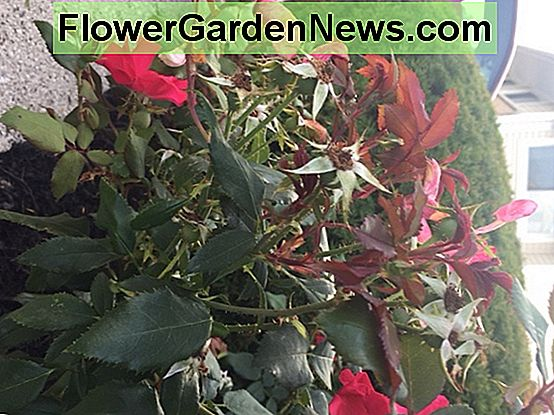Some red growth on roses is normal. If the red growth develops misshapen leaves and blooms, it is likely rose rosette disease, and you will need to replace the plant.