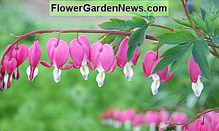 Cómo crecer Bleeding Hearts, un Cottage Garden Favorito