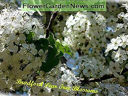 Close-up of Bradford Pear Tree blossoms