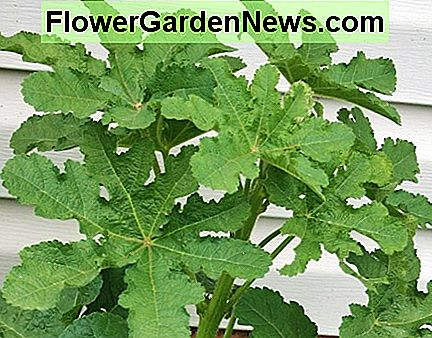 Biennial hollyhock planted in spring is unlikely to bloom the first year.