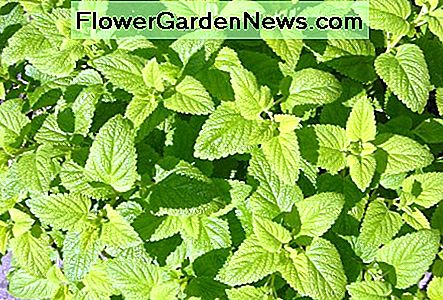 Lemon balm has a light green tender leaf