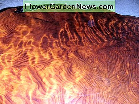 Closeup of the beautiful redwood burl grain pattern