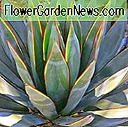 Agave 'Blue Glow', 'Blue Glow' Agave, Blaue Agave,