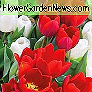 Tulipa Couleur Cardinal, Tulip 'Couleur Cardinal', Single Early Tulip 'Couleur Cardinal', Single Early Tulips, Spring Bulbs, Lentebloemen, Tulipe Couleur Cardinal, Rode tulpen