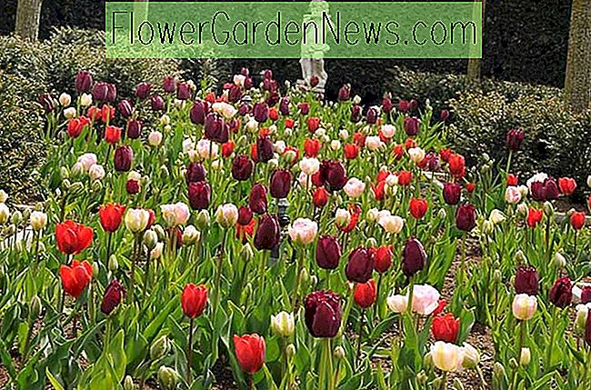 Vårkombinasjonsideer, pærekombinasjoner, plantekombinasjoner, blomsterbedsideer, Springgrenser, Tulip 'Angelique', Tulip 'Couleur Cardinal', Tulip 'Curly Sue', Tulipa 'Angelique', Tulipa 'Couleur Cardinal', Tulipa 'Curly Sue'