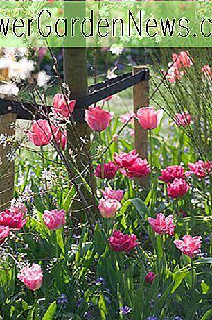 Una idea de frontera de primavera duradera con Tulips 'Queen of Marvel,' Fancy Frills ',' Design Impression 'y Anemone Blanda