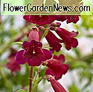 Penstemon 'Rich Ruby', Bartfaden 'Rich Ruby', Lila Penstemon, Evergreen Penstemon, Bart Zunge 'Rich Ruby'