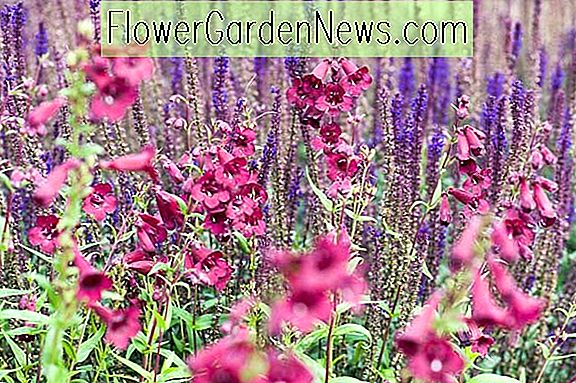 Fabulous Duo: Salvia 'Caradonna' และ Penstemon 'Rich Ruby'