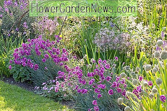 Eine charmante Border-Idee mit Alliums, Garden Pinks & Wallflowers