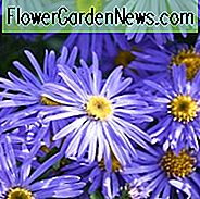 Aster x Frikartii 'Monch', Frikart's Aster, Michaelmas Daisy, Frikart's Aster 'Monch', Michaelmas Daisy 'Monch', Fall perennials, Fall Flowers, Purple flowers, blue flowers