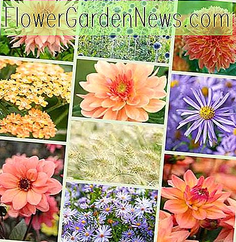 Dahlia's en Companion Plants - Coral & Blue Theme