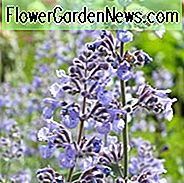 Nepeta 'Six Hills Giant', Catmint 'Six Hills Giant', Nepeta Faassenii 'Six Hills Giant', Faasens catmint, Nepeta X faassenii, Nepeta faassenii, blå blomster, violette blomster, lavendel blomster