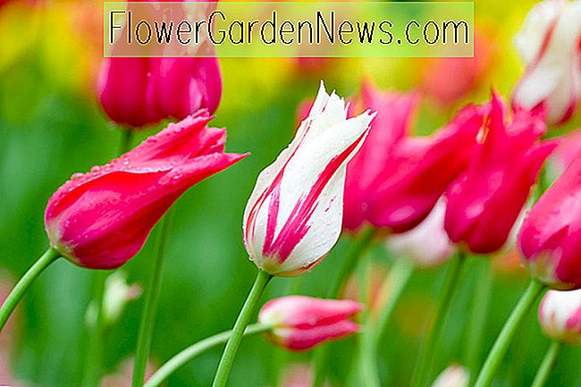 Eine Kiefer-Dropping Border Idee mit Tulip 'Marilyn' & Tulip 'Red Shine'