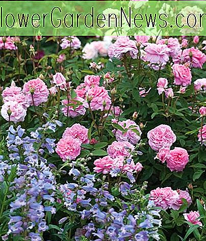 Ein fabelhaftes Duo: Rose 'The Mayflower' und Penstemon 'Stapleford Gem'