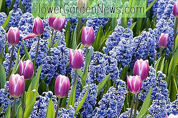 A Fabulous Spring Duo met Tulip 'Synaeda Blue' & Hyacinth 'Delft Blue'