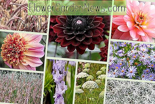 Dahlias and Companion Plants - Pink & Lavender Theme