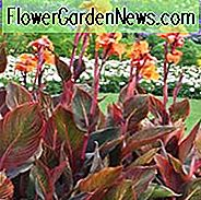 Canna Indica 'Purpurea', Indian Shot 'Purpurea', Kana Lily Wyoming, Canna Lilienknollen, Canna Lilien, Orange Canna Lilien, Purple Leaves
