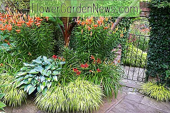 En Shade Loving Border Idea med Hemerocallis, Hosta og Tiger Lilies