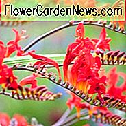 Crocosmia Lucifer, montbretia Lucifer, Crocosmia crocosmiiflora Lucifer, Coppertips Lucifer, Falling Stars Liuciferis