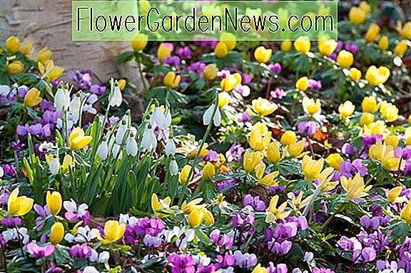 Tuinideeën, Border ideas, Plant Combinations, Bulb Combinations, Flowerbeds Ideas, Winter borders, Spring Borders, Cyclamen coum, Persian Violet, Galanthus Nivalis, Snowdrops, Winter Aconities, Eranthis hyemalis