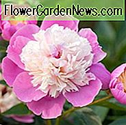 Paeonia Lactiflora 'Bowl of Beauty', Peony 'Bowl of Beauty', 'Bowl of Beauty' Peony, Chinese Peony 'Bowl of Beauty', Common Garden Peony 'Bowl of Beauty', Pink Flowers, Pink Peonies, Fragrant Peonies