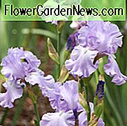 Iris 'Mary Frances', hoge baard Iris 'Mary Frances', Iris Germanica 'Mary Frances', middenseizoen irissen, Award irissen, lavendel Irissen, dijken medaille